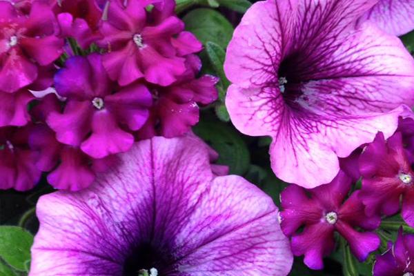 Petunias & Verbena