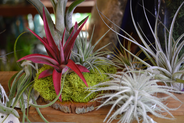 Air Plants (Tillandsia)