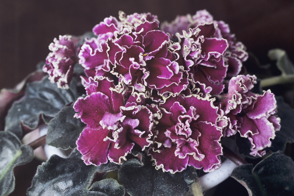 African Violet Society