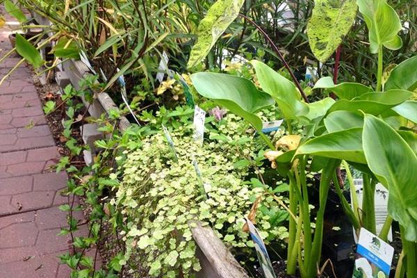 water garden aquatic plants - Water Garden Plants