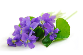 February Flower of the Month : Violet