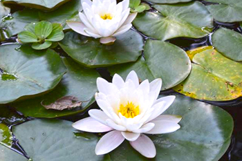 July Flower of the Month - Water Lily