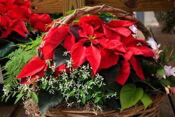 December Flower of the Month : Poinsettia